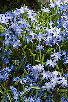 Blue flowers of Chionodoxa lucilae in spring bloom