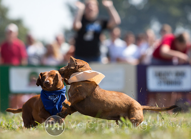 "Photo by Marc F. Henning<br /> The 7th annual ""Wiener Takes All"" Arkansas State Championship Dachshund Races at the Bella Vista Hay Days in Bella Vista, Ark."
