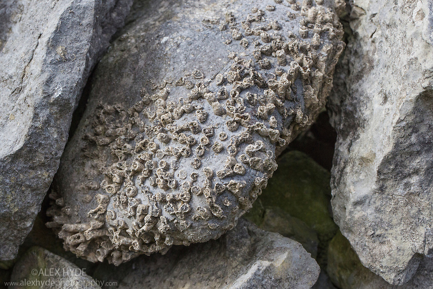 Fossilised Carboniferous limestone coral {Lithostrotion sp.} in dry stone wall, Peak District National Park, Derbyshire, UK.