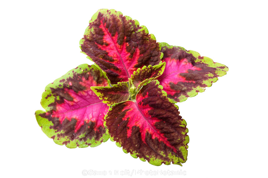 Coleus 'Fairway Rose' variegated foliage leaf cluster silhouette on white