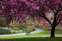 Flowering Crabapple (Malus ) 'Liset' in San Francisco Botanical Garden