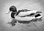 Mallard duck BW crop