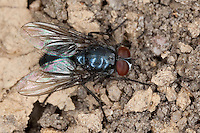 Schmeissfliege, Schmeißfliege, Fleischfliege, Männchen, Melinda cf. viridicyanea, blowfly, bluebottles, bluebottle blowfly, bluebottle, Schmeißfliegen, Calliphoridae, blowflies