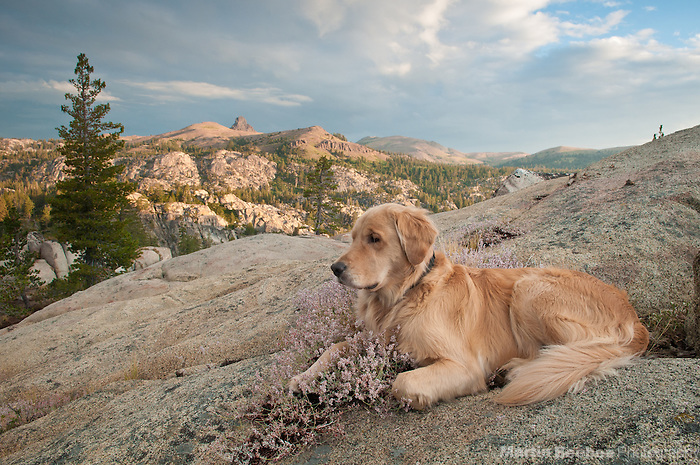 Dog (golden retriever) and morning alpenglow on the Sierra Nevada, Toiyabe National Forest, California