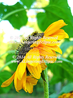 Sunflowers have been an icon in art for many cultures.  They feed the birds and wildlife with their seeds, and provide essential oil for humans.  They are a versatile crop, and when ready to harvest create a breath-taking sight.