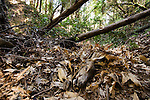 Black-tailed Deer (Odocoileus hemionus) doe carcass covered with leaves by Mountain Lion (Puma concolor), Santa Cruz Puma Project, Lexington Reservoir County Park, California
