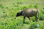 China, Hong Kong, Pui O Water Buffalo