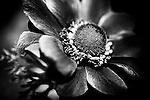 A black and white rendition of a spring Anenome Coronaria.