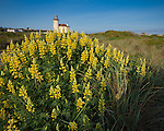 Bandon, Oregon   <br /> Morning sun on a large mound of sulphur lupine (Lupinus sulphureus) with the Coquille River Lighthouse