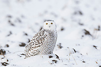 Immature female Snowy Owl (Bubo scandiacus). Ontario, Canada. December.