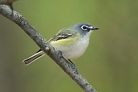 Blue-headed Vireo (Vireo solitarius). Tompkins County, New York. May.