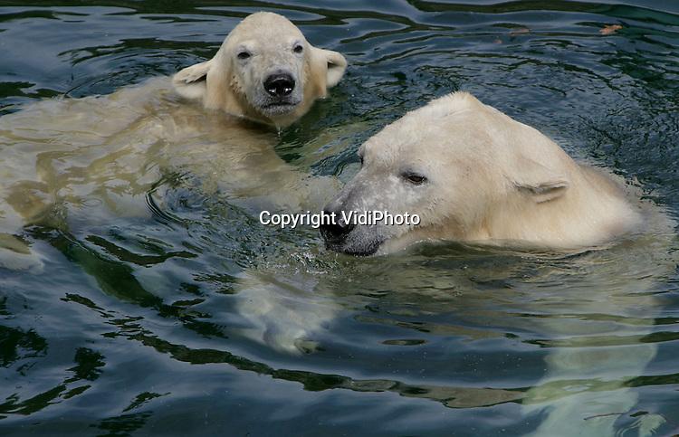 Foto: VidiPhoto..RHENEN - De negen maanden oude ijsbeer Sprintertje heeft donderdag in Ouwehands Dierenpark in Rhenen voor het eerst kennis gemaakt met oma Huggies. Normaal worden ijsberen met elkaar geïntroduceerd als de jongen zeker 1,5 jaar oud zijn. Omdat de moeder van Sprintertje (Fredom) een dochter is van Huggies, vindt de introductie eerder plaats.