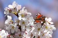 Nederland Amstelveen 2018 . Bloesempark in het Amsterdamse Bos.  Vlinder op bloesemtak. Foto Berlinda van Dam / Hollandse Hoogte