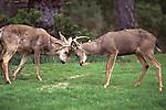 Mule deer bucks spar