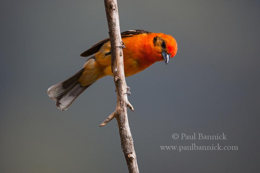 Flame-colored Tanager, Tangara dorsirrayada