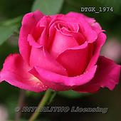 Gisela, FLOWERS, BLUMEN, FLORES, photos+++++,DTGK1974,#f#