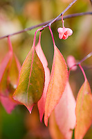 Euonymus Bungeanus 'Fire Flame'