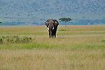 Elephant grazing on the plain in Africa.