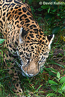 0615-1102  Jaguar, Belize, Panthera onca  © David Kuhn/Dwight Kuhn Photography