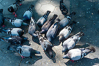 New York, NY - 31 July 2015 - Someof the remaining pigeons eating bird seed in Washington Square Park. On July 22nd 200 to 300 of the parks pigeons went missing.