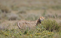 Cheetah hunting in the central Serengeti