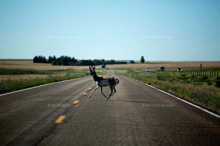 An antelope runs across a frontage road in north central Montana, USA.