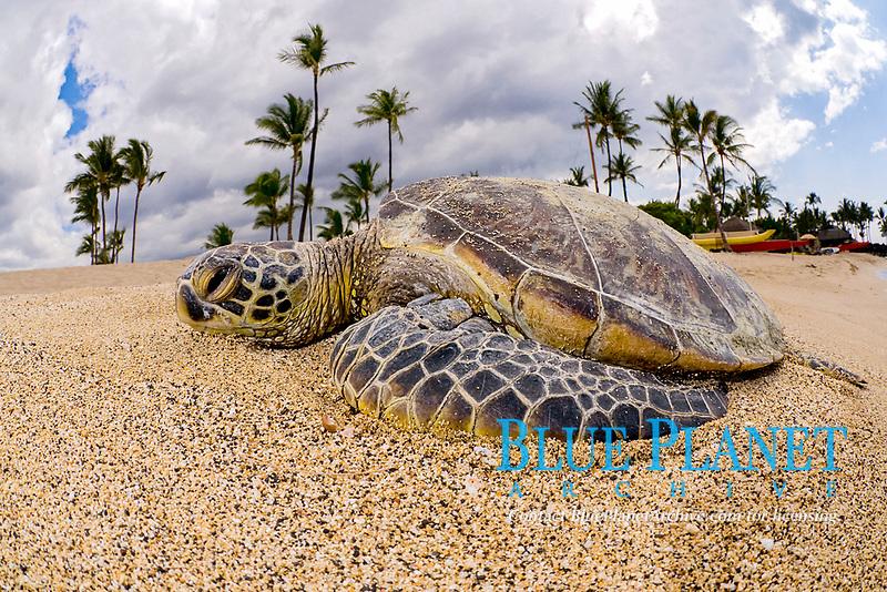 green sea turtle or honu (H), Chelonia mydas, ( an endangered species ) basks in the sun at Kukio Beach, Hawaii ( Central Pacific Ocean )