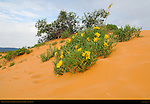 Dune Sunflowers, Rough Mule's Ear, Coral Pink Sand Dunes State Park, Kanab, Utah