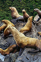 Northern or Steller's Sea Lions (Eumetopias jubatus) hauled out of coastal rocks.  Pacific Northwest.