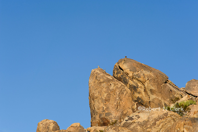 Chukar in a natural setting in the Mojave Desert