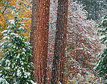 Yosemite National Park, CA: Ponderosa pines trunks in a forest with lingering fall color and a dusting of snow, Yosemite Valley