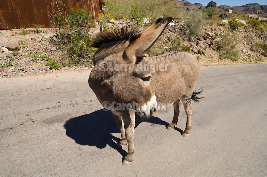 A jackass looks down the highway in Oatman, Ariz.