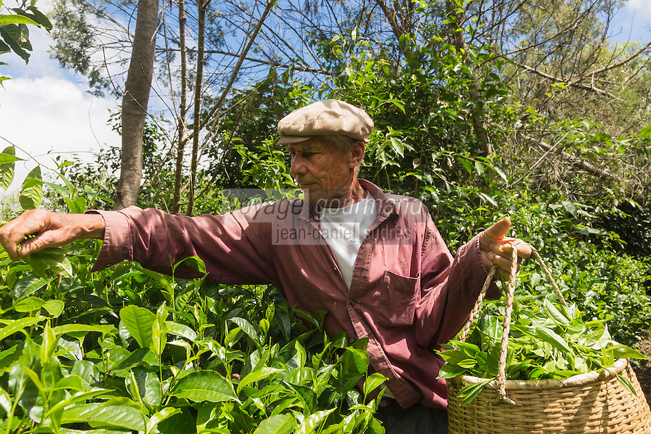 France, île de la Réunion, Saint-Joseph, Grand Coude: Plantation de thé: le labyrinthe en-champ-thé, cueillette du thé blanc  //  France, Reunion island (French overseas department), Saint Joseph, Grand Coude, picking white tea <br /> <br /> Auto N°: 2014-114