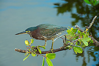 Green Heron fishing, Merritt Island NWR, Florida