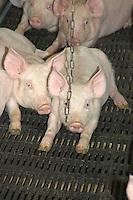 Indoor weaner pigs on slatts.