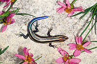 Skink on warm rock surrounded by flowers highlighting the blue tail