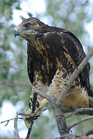 Immature Swainson's Hawk seen on a tree branch below the nest near Hinckley, Utah.