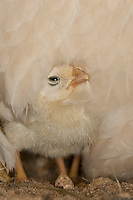 Zwerghuhn, Huhn, Henne hudert ihre Küken, Hühnerküken, Zwerghühner, glückliche Hühner, artgerechte Tierhaltung