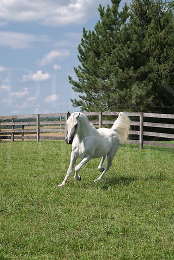 Picture of white Arabian horse running in sunny pasture, flagging his tail.