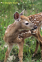 MA11-065z  White-tailed Deer - fawn - Odocoileus virginianus