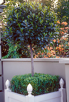 Herb spice Bay Laurel (Laurel nobilis) trained as a standard in a formal white planter with box underplanting (Buxus), on patio near half wall. Azaleas in background.
