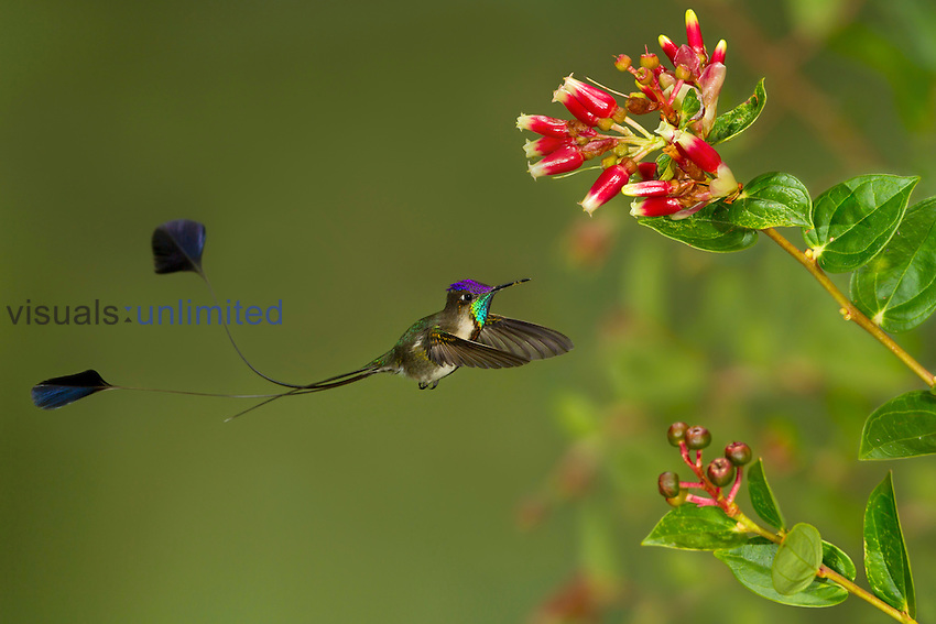 Marvelous Spatuletail (Loddigesia mirabilis) flying while feeding at a flower, Abra Patricia Protected Area, Peru.