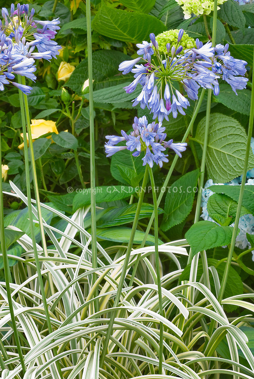 Agapanthus 'Summer Sky' (Variegated) blue flowers summer bulb