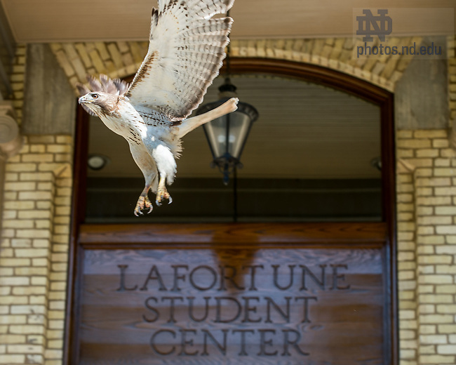 June 27, 2017; A hawk flies away from LaFortune Student Center. (Photo by Matt Cashore/University of Notre Dame)