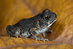 Toad, Bufo sp, Jinka, Lower Omo Valley, Ethiopia, small.Africa....