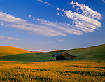 Whitman County, WA<br /> Evening light on a field of winter wheat with a weathered livestock shelter