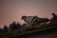 Pigeon on a Hot Tin Roof