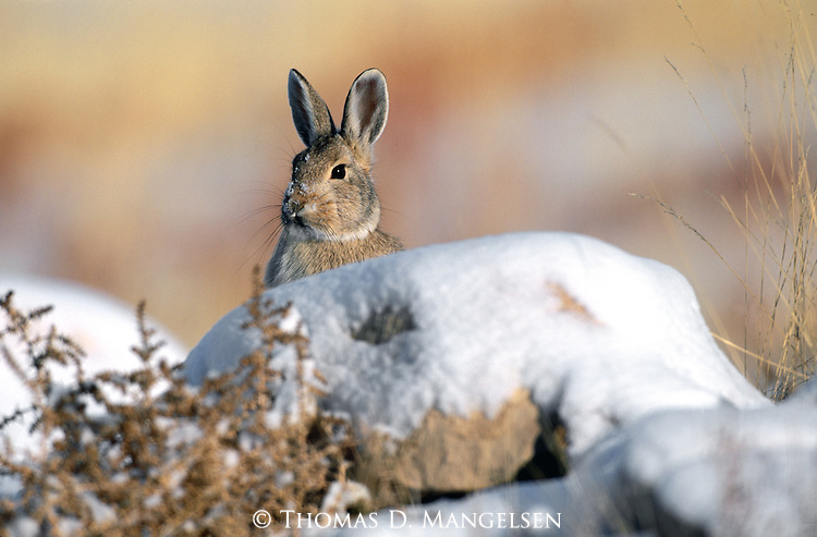 Unexpected rays of late November sunlight warm a mountain cottontail in Wyoming's Whiskey Basin in the Wind River Range.