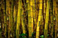 Golden Bamboo. Alerton Gardens. Kauai, Hawaii