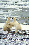 Polar bear (Ursus maritimus) - Hudson bay,  two bears play-fighting sparring couple pair